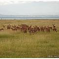 整群impala只有一隻公的喔~(在最右邊)
