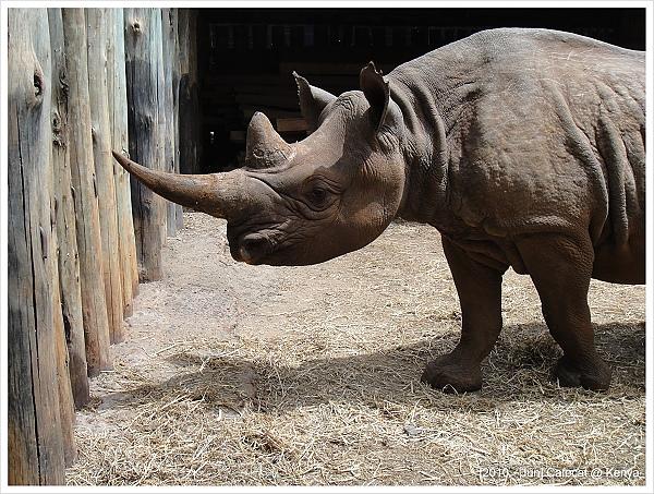 黑犀牛現在數量很少都快絕種了