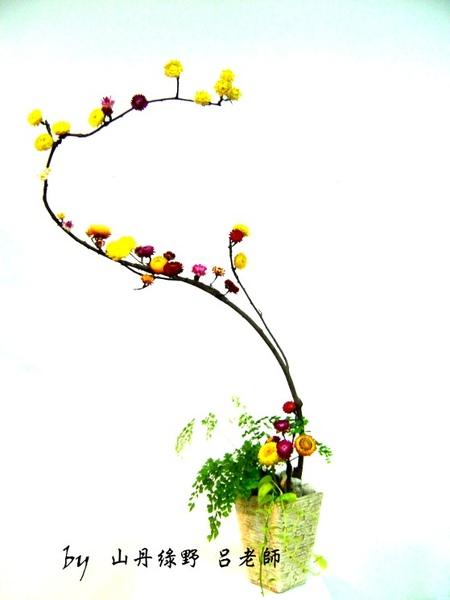 麥桿菊之美 飛龍在天.jpg