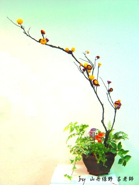 麥稈菊之美 彩雲飛2.jpg