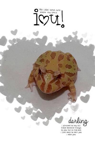 黃金角蛙 (1)
