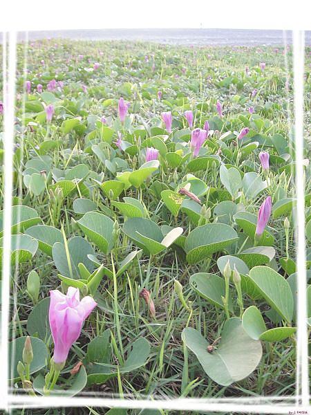 七星潭的花季
