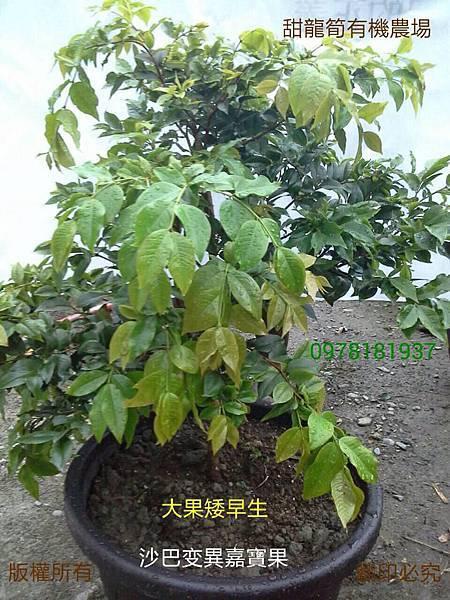 新品種 Myrciarin X Cauliflora 沙巴變種嘉寶果 紅妃矮早生嘉寶果(樹葡萄)