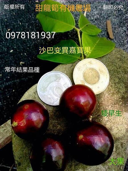 新品種 Myrciarin X Cauliflora 沙巴變異嘉寶果 紅妃矮早生嘉寶果(樹葡萄) 三年開花,四年結果