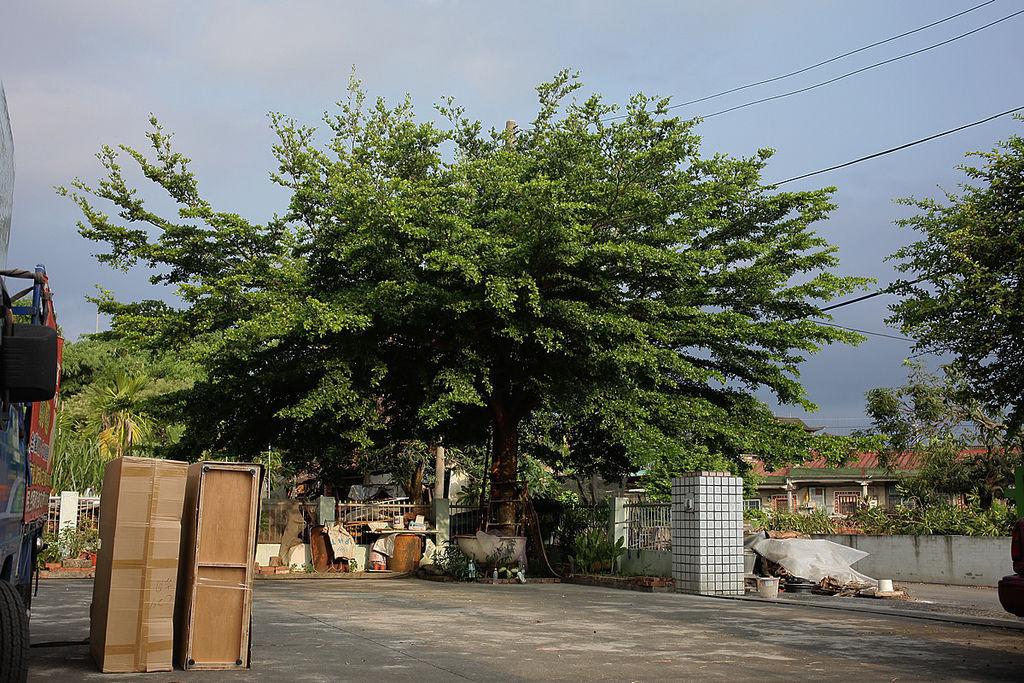 發現院裡有超級大的樹木,太厲害了,先拍照起來