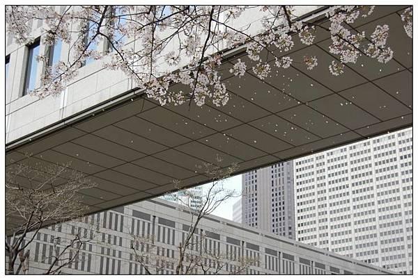 都廳櫻花吹雪.jpg