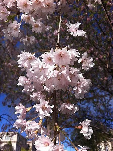 130502_CWRU賞花