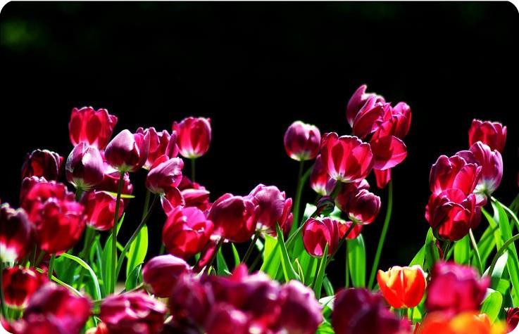 紫鬱金-2.jpg