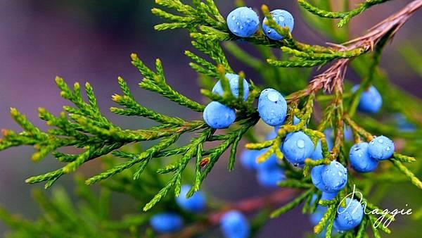 Autumn-nature-juniper-blue-berries-water-drops_1920x1080.jpg