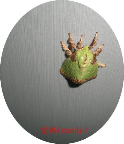 基褐綠刺蛾