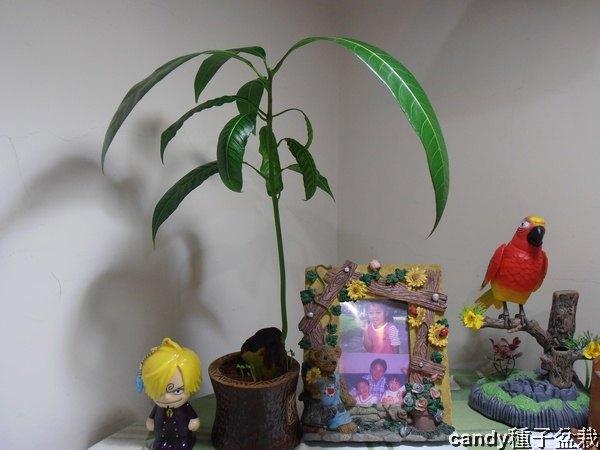 種子盆栽-芒果