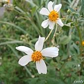 (菊科)大花咸豐草