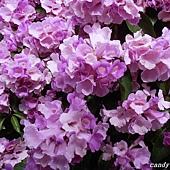 (紫薇科)蒜香藤
