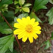 (菊科)南美蟛蜞菊