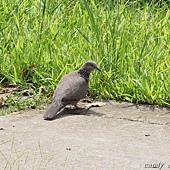 (鳩鴿科)珠頸斑鳩