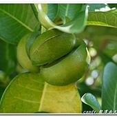 (夾竹桃科)蘭嶼山馬茶的果實