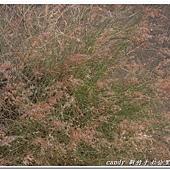 (禾本科)紅毛草
