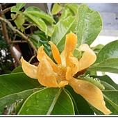 (木蘭科)玉蘭花