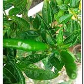 (茄科)綠色辣椒