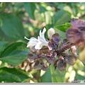 (唇形科)九層塔的花