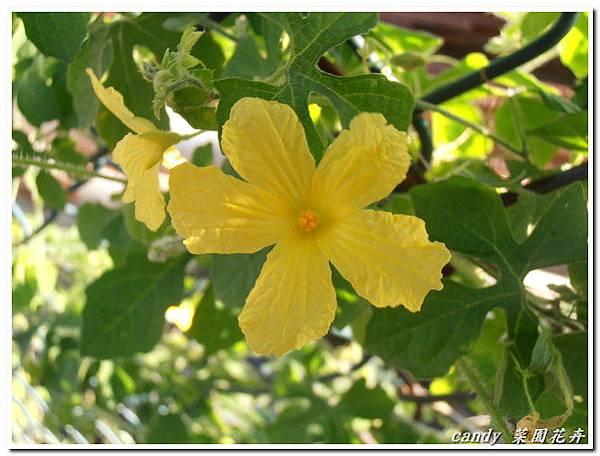 1-小苦瓜的花