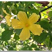 (葫蘆科)山苦瓜的花