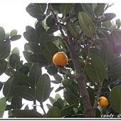 (藤黃科)福木的果實
