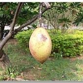(夾竹桃科)海檬果
