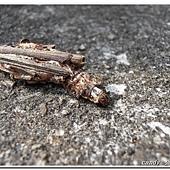 (蓑蛾科)大避債蛾的幼蟲