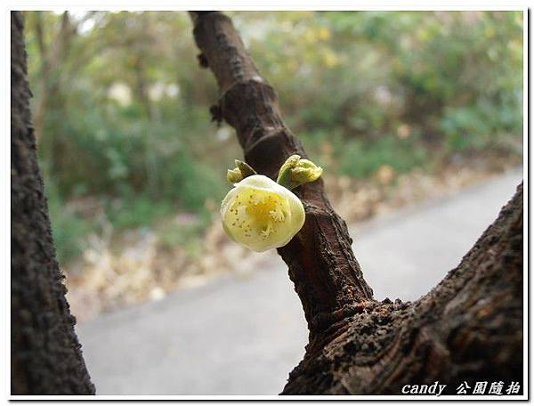 (藤黃科)福木的花