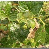 (葡萄科)漢氏山葡萄