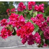 (紫茉莉科)九重葛