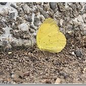 (粉蝶科)台灣黃蝶