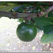 (藤黃科)福木的綠色果實