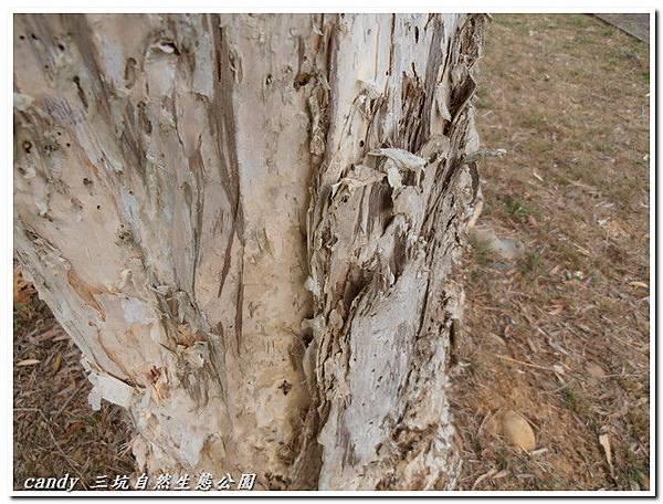 12-白千層樹幹脫皮