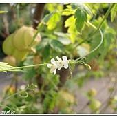 (無患子科)倒地鈴的花
