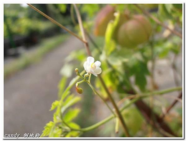 18-倒地鈴的花
