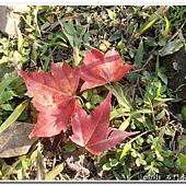 (槭樹科)槭樹葉
