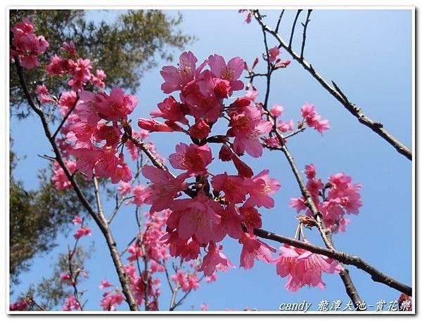 (薔薇科)山櫻花