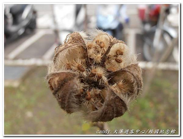 (錦葵科)山芙蓉種子