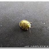 (金花蟲科)甘藷龜金花蟲