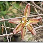 (桑科)雀榕嫩芽