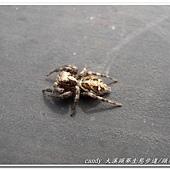 (蠅虎科)褐條斑蠅虎(雌)