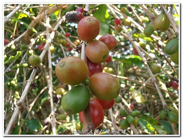 (茜草科)咖啡果實