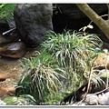 (石菖蒲科)石菖蒲, 多年生嗜水草本,多生於低海拔溪谷兩岸、河床或潮濕岩壁上。