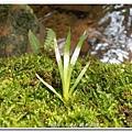 (石菖蒲科)石菖蒲, 多年生嗜水草本,多生於低海拔溪谷兩岸、河床或潮濕岩壁上。石菖蒲嫩芽