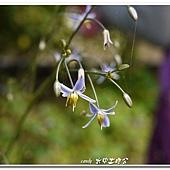(百合科)桔梗蘭