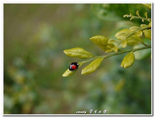 18-赤星瓢蟲