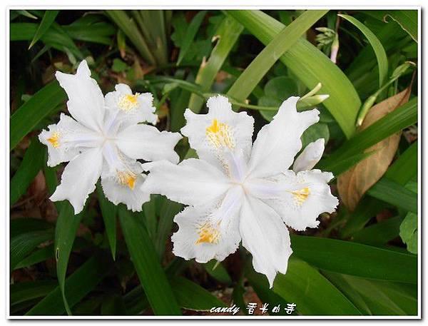 34-白色鳶尾花