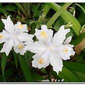 (鳶尾科)日本鳶尾花